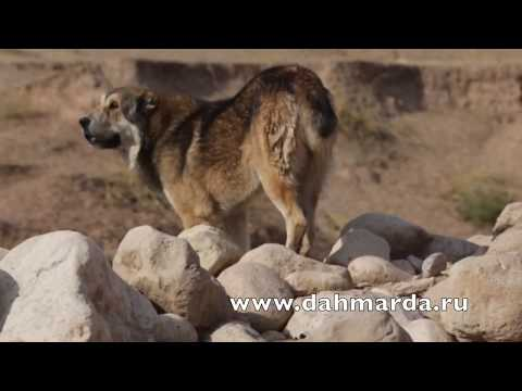 видео: Аборигенный САО Таджикистана саги дахмарда Полвон из Кабадияна