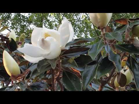 Freedom The Parrot Southern Magnolia Trees 1 Of Oldest Plants On
