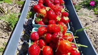 Strawberry picking, New York, June 2016
