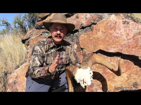 Why head bashing sheep don't break their necks -- with Ron Spomer