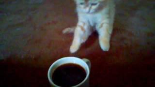 Кошка пьет квас