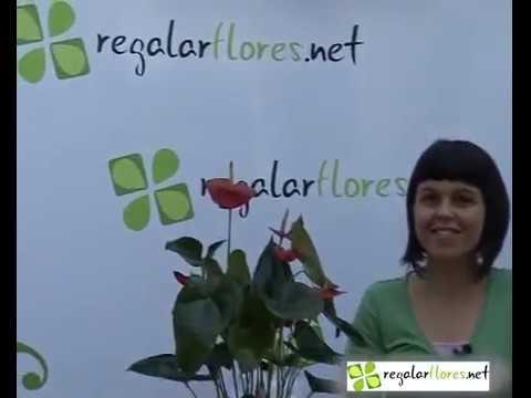 Cuidados de la planta anthurium youtube for Anturio cuidados