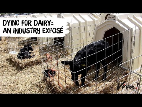 Dying for Dairy: An Industry Exposé