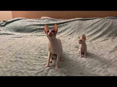 Cornish Rex Mommy and baby.