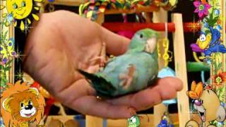 Baby Parrotlet Playing Dead Training