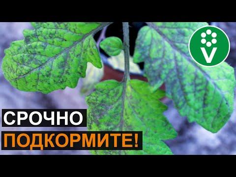 НЕ ПОТЕРЯЙТЕ СВОИ ТОМАТЫ! Признаки фосфорного голодания помидоров | фиолетовыми | фиолетовые | фиолетовая | помидоры | рассада | помидор | синеют | почему | листья | стали