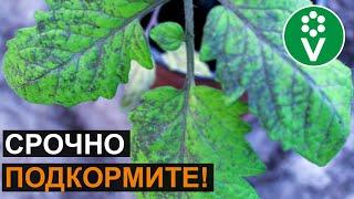 НЕ ПОТЕРЯЙТЕ СВОИ ТОМАТЫ! Признаки фосфорного голодания помидоров