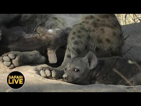 safariLIVE - Sunset Safari - April 20, 2019