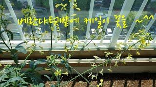 베란다텃밭에 케일이 꽃이 피었어요^^