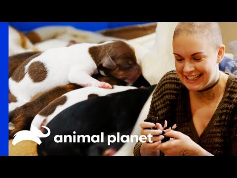 eggo-the-chihuahua-gives-birth-to-8-beautiful-puppies!-|-amanda-to-the-rescue