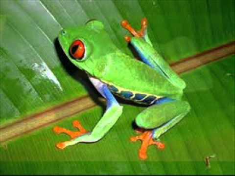 3d Frog Wallpaper Rana Arbolicola De Ojos Rojos Agalychnis Callidryas