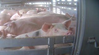 REGARDEZ: Une vidéo en caméra cachée révèle les horreurs du transport d'animaux vivants