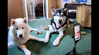 Husky Opens Birthday Gifts Subscribers Watch Her Live