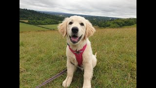 Maisie the Golden Retriever Puppy - 2 Weeks Residential Dog Training