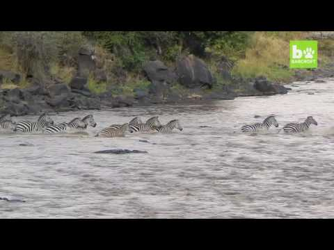 Crocodiles Brutally Ambush Zebras During Migration: SNAPPED IN THE WILD