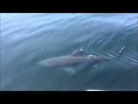 Bar Harbor Whales- Basking Shark Close-up!