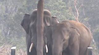 Breeding with wild elephant in Chitwan National Park