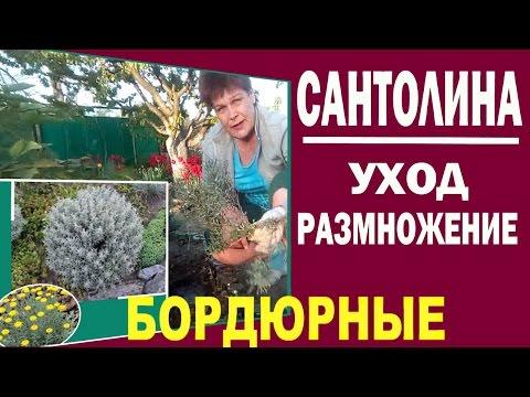 Бордюрные растения для сада Сантолина