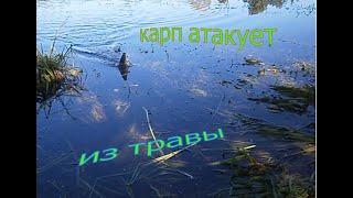 Рыбалка КАРП атакует из травы