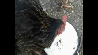 Les Poules Qui Mangent