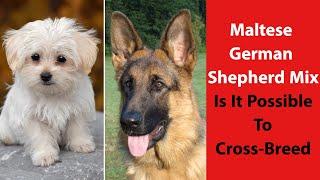 Maltese German Shepherd Mix: Is It Possible to CrossBreed