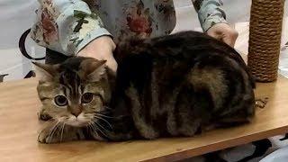 🐱 Ну ОЧЕНЬ Красивая Упитанная Британская Кошка ❤️️ Шикарная Британочка | Породы КОШЕК
