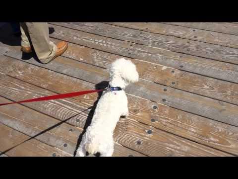 dog-struts-down-boardwalk---buddy-does-laguna-beach