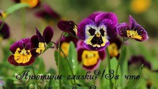 видео История происхождения тюльпана