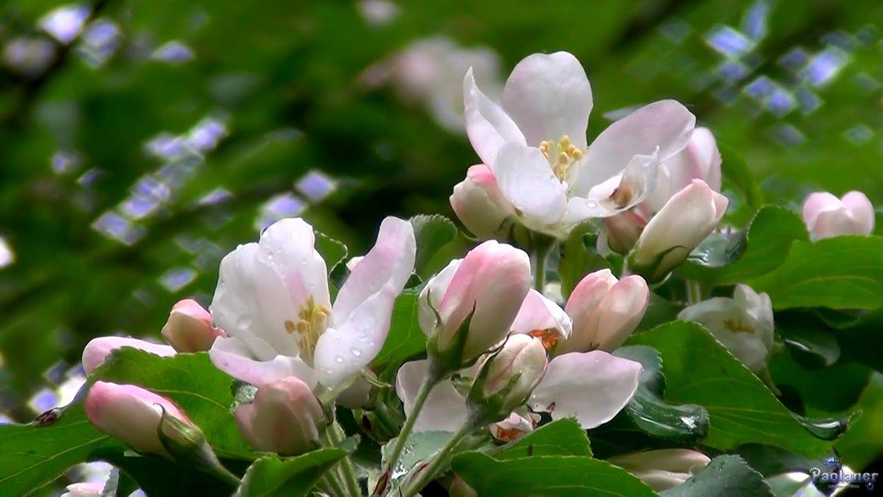песня яблони в цвету слушать