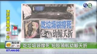 吃垃圾袋撐死 短肢領航幼鯨夭折