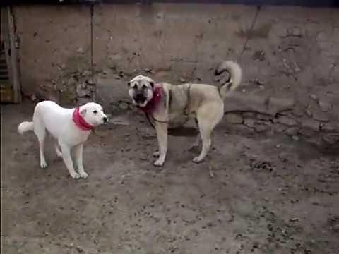 çoban köpekleri eskişehir