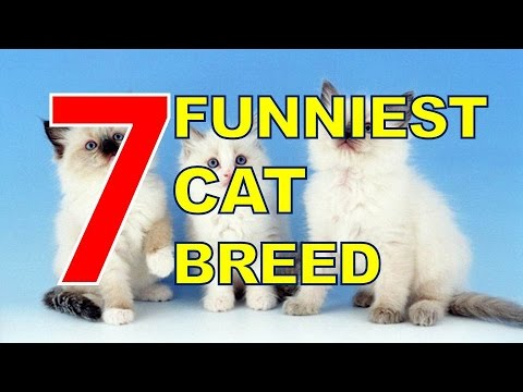 7 Funniest Cat Breed You Can Bring for Your Pet