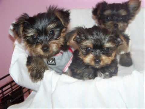 Yorkie Puppies Pictures and Videos
