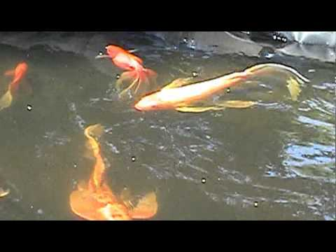 Backyard koi and goldfish pond youtube for Koi und goldfisch