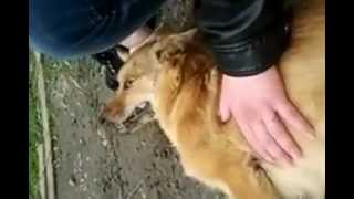 Конвульсии отравленной собаки.mp4(На данный момент в г.Черновцы, помимо регулярных отстрелов и вывоза за границы города, постоянно проходят..., 2012-04-28T12:47:17.000Z)