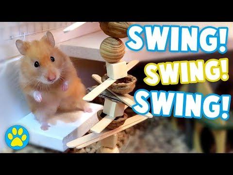 Hamster REALLY Wants A Walnut!   Iodine The Syrian