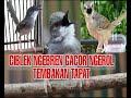 Ciblek Cigun Ngebren Gacor Masteran Murai Batu Kacer Cucak Ijo Favorit Juri  Mp3 - Mp4 Download