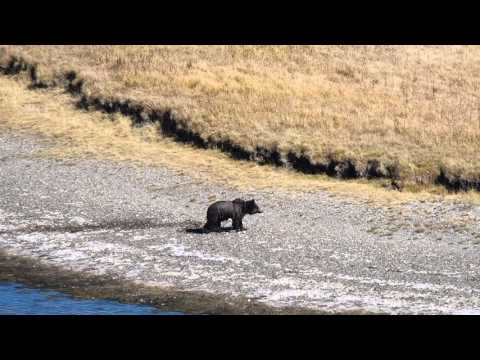 Grizzly in Hayden Valley, Yellowstone NP - 10.10.15