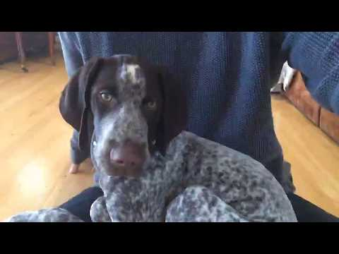 German Shorthaired Pointer Puppy Live Stream 12/2017