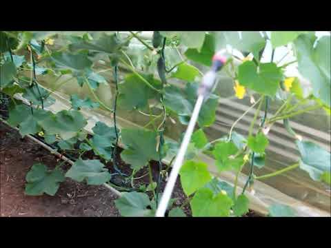 видео: Увядание листьев томата и огурца №2