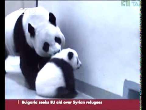 Baby panda Yuan Zai presented an honorary citizen's card of Taipei