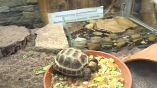Степная черепаха.