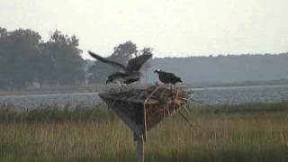 Young Osprey Chicks Flying at Blackwater NWR