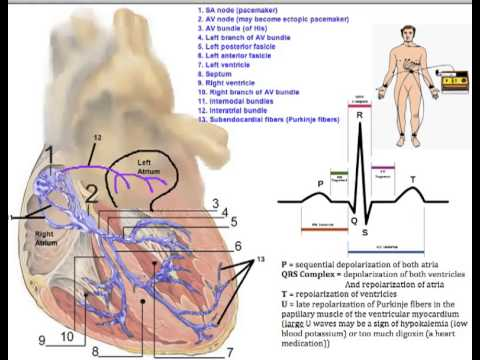 Cardiovascular System Conduction System Of The Heart Youtube