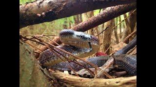 The Snake Wrangler Episode 1: Rat Snake Rehabitation and Release
