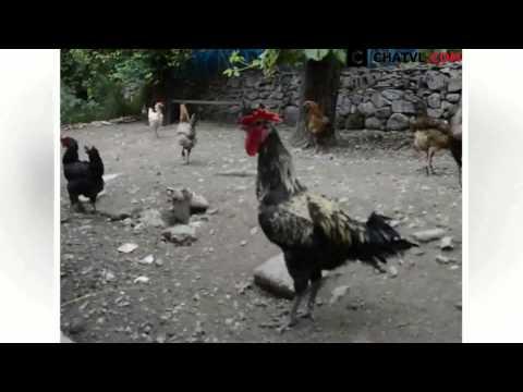 Con gà gáy lâu nhất thế giới.