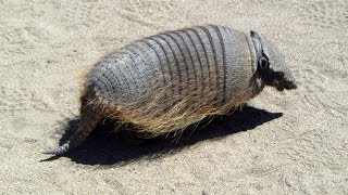 Armadillo, Caleta Valdés, Chubut Province, Argentina, South America