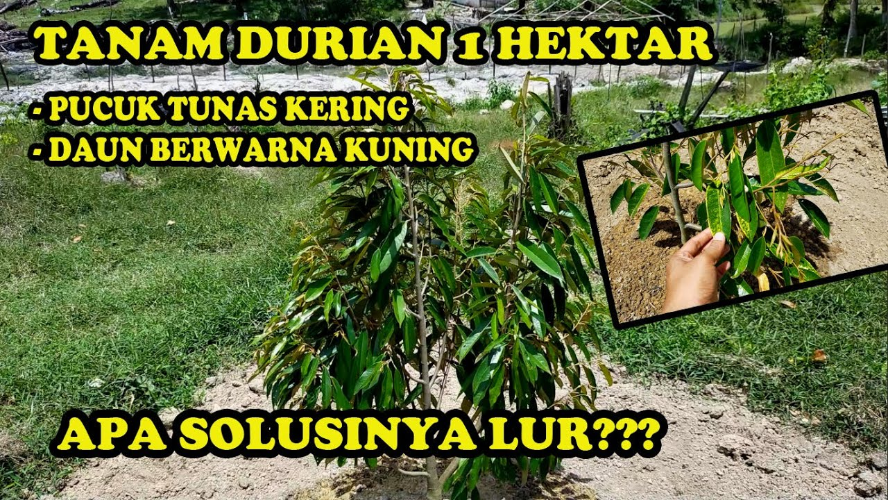 Tanam Durian 1 Hektar, Pucuk Tunas Kering dan Daun Berwarna Kuning. Apa Solusinya Lur??