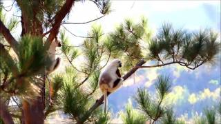 ベローシファカ in マダガスカル verreaux' sifaka Madagascar