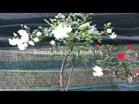 Hoa Hồng Bạch Tra Bonsai